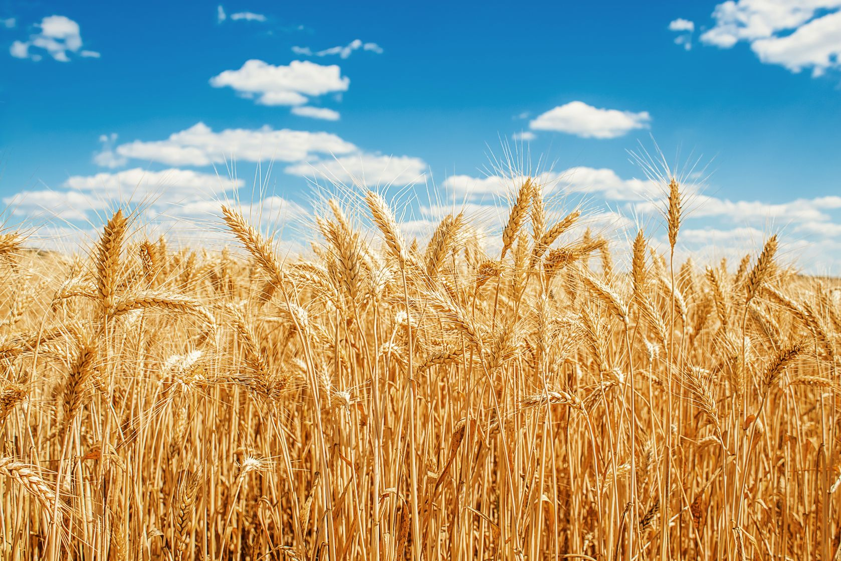 Wheat field on blue sky